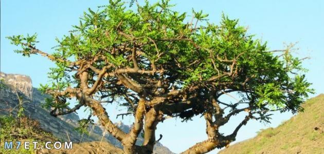 شجرة المر 2021