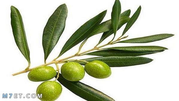 فوائد اوراق الزيتون للاسنان
