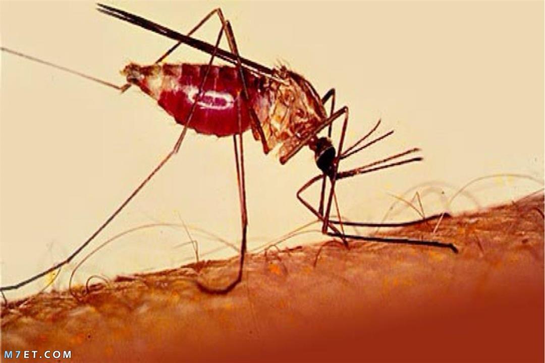 أعراض الملاريا