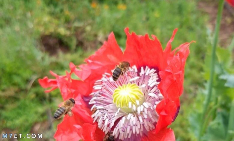 تغذية النحل على زهرة الخشخاش نبات الأفيون