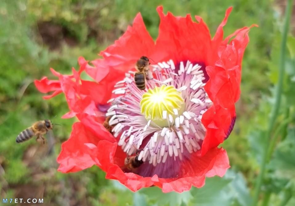 صورة للنحل وهو يتغذى على زهرة الخشخاش لإنتاج عسل الأفيون