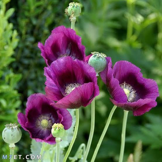 زهرة نبات الأفيون زهرة الخشخاش