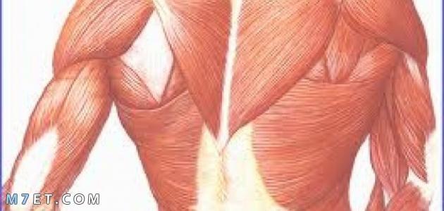 العضلات الملساء