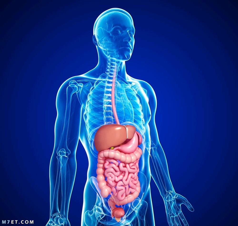 أنواع الهضم