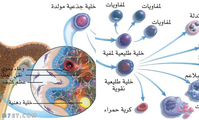 أهمية الخلايا الجذعية