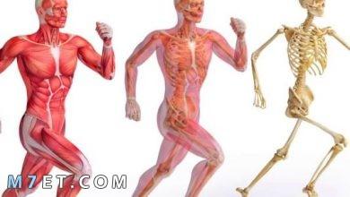 Photo of الجهاز العضلي | انواع العضلات وآلية عملها