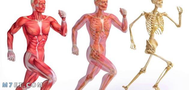 الجهاز العضلي