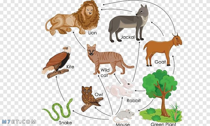 أهم المعلومات عن السلسلة الغذائية للحيوانات