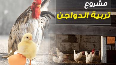 Photo of مشروع تربية الدجاج والطريقة الصحيحة لربح كبير