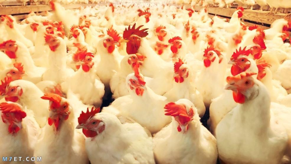 مشروع تربية الدجاج