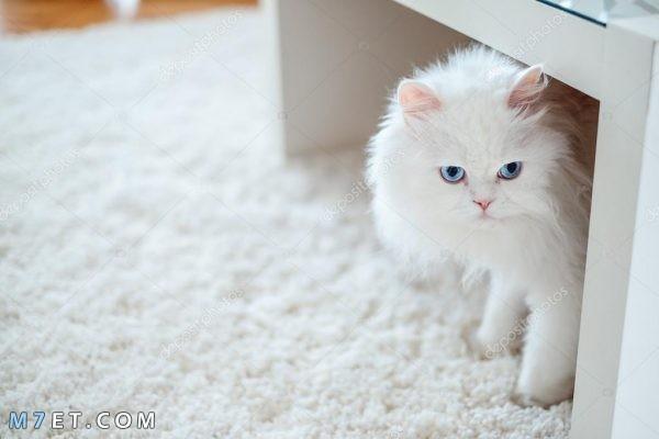 حكم بيع القطط