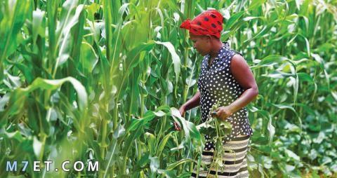 السودان سلة غذاء العالم