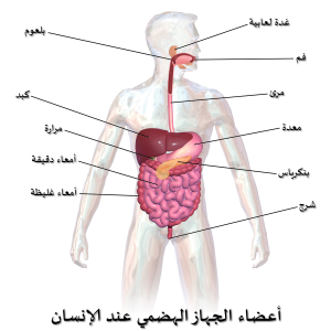 أجزاء جسم الإنسان بالتفصيل